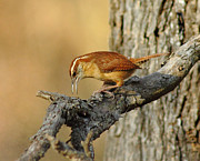 Wren Art - Carolina Wren by Robert Frederick
