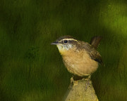 State Bird Prints - Carolina Wren Print by Steven Richardson