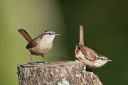 Perky Posters - Carolina Wrens Poster by Bonnie Barry