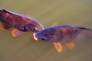 Carp Digital Art - Carp Duo by Nancy Mueller