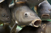Mouth Photo Posters - Carp Poster by Jane Rix