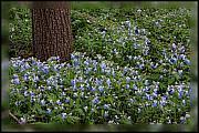 Shari Jardina - Carpet of Blue-Eyed Mary