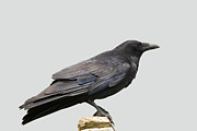 Corvus Prints - Carrion Crow Print by Power And Syred