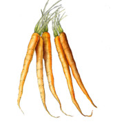Graphic Painting Posters - Carrot Variation Poster by Fran Henig