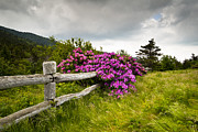 Fuchsia Prints - Carvers Gap Roan Mountain State Park Highlands TN NC Print by Dave Allen