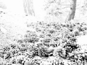 Pine Cones Photo Originals - Cascade Of Sharp - Whiteout by Aron Gerber