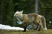 Cascade Mountains Framed Prints - Cascade Red Fox Framed Print by Bob Gibbons
