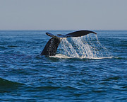 Humpback Metal Prints - Cascade Metal Print by Tony Beck