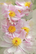 Light And Dark  Prints - Cascading Pink Peony Flowers Print by Jennie Marie Schell