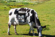 Cow Humorous Photos - Cash Cow . 7D16140 by Wingsdomain Art and Photography