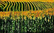 Rows Painting Posters - Cash Crop Corn Poster by Gregory Allen Page