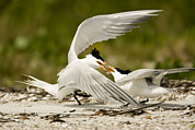 Animal Behavior Art - Caspian Terns Sterna Caspia Fight by Tim Laman