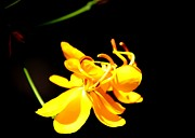 Cassia Photos - Cassia Blossom by Theresa Willingham