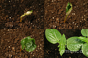 Germinate Prints - Castor Bean Sprouting Print by Ted Kinsman