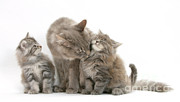 Animal Family Prints - Cat And Kittens Print by Mark Taylor