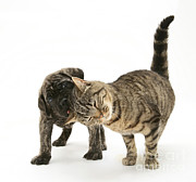 Brindle Photos - Cat And Mastiff Pup by Jane Burton