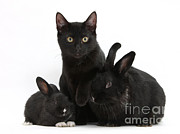 Cat And Rabbits Print by Mark Taylor