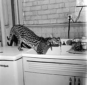 Unhygienic Prints - Cat At The Tap Print by Sherman