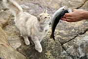 Fed Metal Prints - Cat Being Fed A Fish Metal Print by Bjorn Svensson