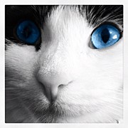 Animals Art - Cat blue eyes by Rachel Williams