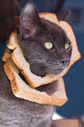 Kitteh Prints - Cat Breading Sandwich  Print by Kittysolo Photography