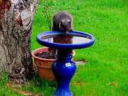 Amy Bradley - Cat Drinking Bird Bath...