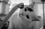 Black And White Cat Framed Prints - Cat Drinking Water From Faucet Framed Print by A*k