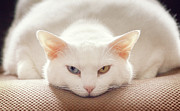 Staring Cat Photos - Cat Expression by Kathryn Froilan