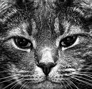 Extreme Close Up Prints - Cat Face In Black And White Print by Paul Frederiksen, Jr.