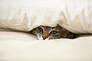 Head On Pillow Prints - Cat Hiding Under Pillow On Bed Print by Navid Baraty / Getty Images
