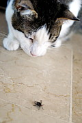 Animals Hunting Prints - Cat hunting the fly Print by Sami Sarkis