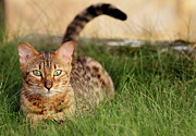 Front View Photo Posters - Cat In Grass Field Poster by Henri Taverne