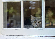 Cat In The Window Print by Lisa  Phillips