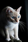 Domestic Animals Art - Cat Looking At The World Outside by Randy Pond Photography