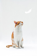 Ginger Cat Prints - Cat Looking Up Towards Falling White Feather Print by Image by Catherine MacBride