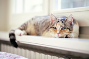 Domestic Animals Posters - Cat Lying Down On Wooden Windowsill Poster by Les Hirondelles Photography