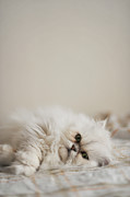 Day Bed Framed Prints - Cat Lying In Bed Framed Print by Nazra Zahri