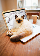 Coffee Cup Animal Posters - Cat Lying On Laptop On Desk Poster by Johner Images
