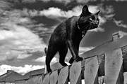 Black Cat Photos Photos - Cat on a Mission by Ladymoose McConnell