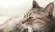 Domestic Animals Art - Cat Relaxing by Dhmig Photography