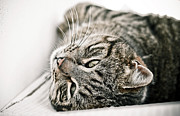Domestic Animals Posters - Cat Relaxing Upside Down Poster by Annfrau