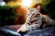 Domestic Animals Art - Cat Resting by Jdnyim