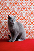 Animal Wallpaper Posters - Cat (russian Blue) And Wallpaper Background Poster by Ultra.f