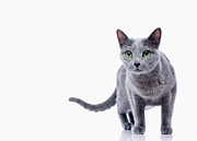 Pampered Prints - Cat (russian Blue) On White Background Print by Ultra.f