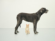 Flooring Prints - Cat Sitting Beneath Great Dane Print by Oppenheim Bernhard