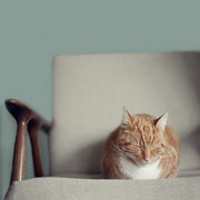 Domestic Animals Posters - Cat Sleeping On Comfy Creme Chair Poster by Paula Daniëlse