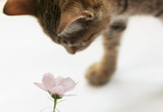 Domestic Animals Posters - Cat Smelling Flower Poster by Jill Ferry Photography
