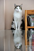 Glass Table Reflection Posters - Cat standing on chair Poster by Sami Sarkis