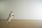 Hardwood Floor Prints - Cat Standing On Hind Legs Print by Junku