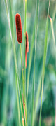 Cattails Framed Prints - Cat Tails Framed Print by JC Findley
